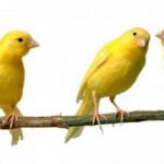 Why Lusty Canaries Change Their Tune?