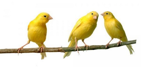 Canaries Why Lusty Canaries Change Their Tune?
