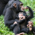 Why Are Chimps Endangered