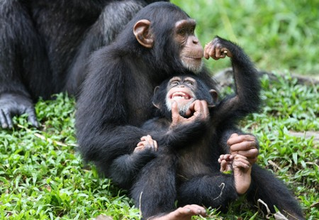 Chimps Endangered Why Are Chimps Endangered
