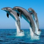 Why Are Bottlenose Dolphins Becoming Endangered