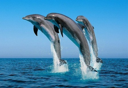 Dolphins Becoming Endangered Why Are Bottlenose Dolphins Becoming Endangered